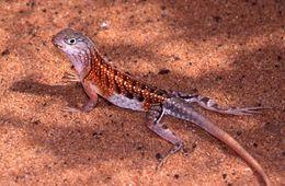Image of Three-eyed Lizard