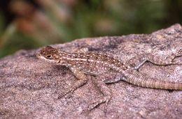 Image of Dumeril's Madagascar swift