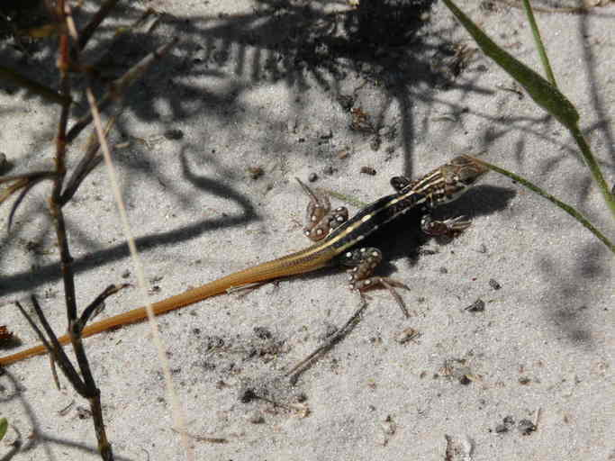 Image of Bushveld Lizard