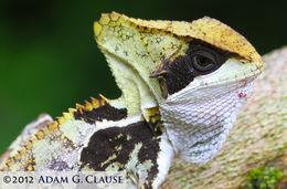 Image of Hernandez's Helmeted Basilisk
