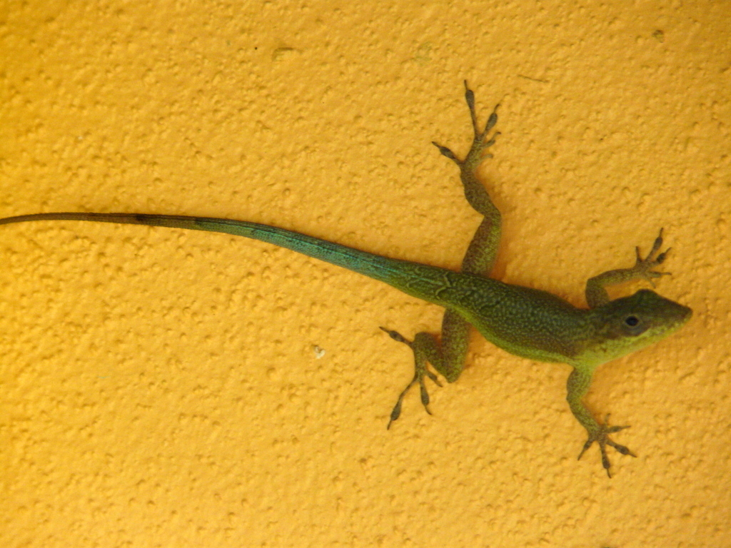 Image of Bluefields Anole