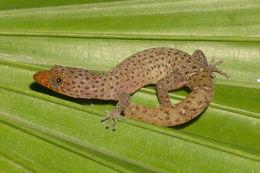 Image of Caicos Least Gecko