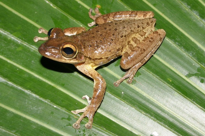 Image of Cuban Treefrog
