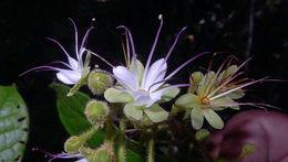 Image of <i>Hirtella ciliata</i> Mart. & Zucc.