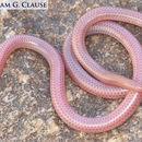 Image of <i>Rena <i>humilis</i></i> humilis (Baird & Girard 1853)