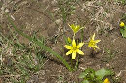 Image of <i>Gagea liotardii</i> (Sternb.) Schult. & Schult. f.