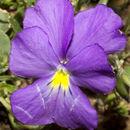 Image of <i>Viola calcarata</i> ssp. <i>villarsiana</i> (Roemer & Schultes) Merxm.