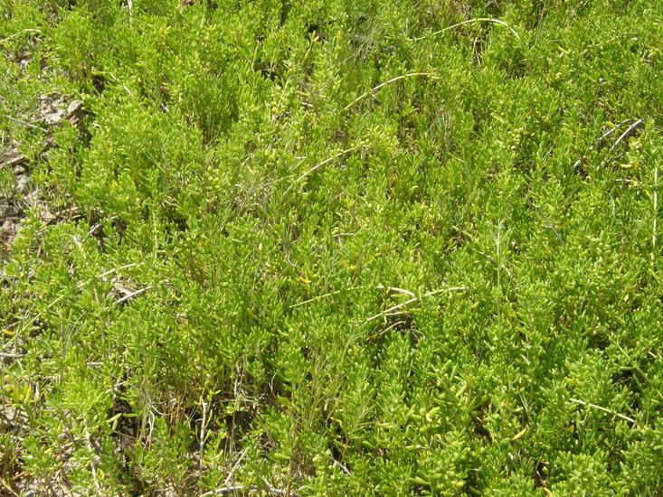 Image of turtleweed