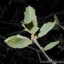 Image of Tucker oak