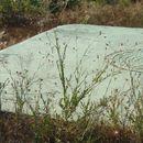 Image of Desert knapweed