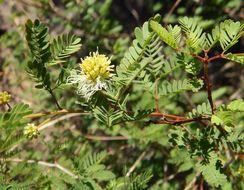 Image of Coville's bundleflower