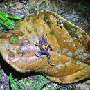 Image of <i>Paratelmatobius cardosoi</i> Pombal & Haddad 1999