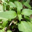 Image of <i>Prunella <i>vulgaris</i></i> var. vulgaris