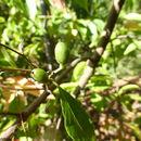 Image of <i>Alniphyllum pterospermum</i> Matsum.