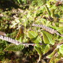 Image of <i>Betula potaninii</i> Batalin