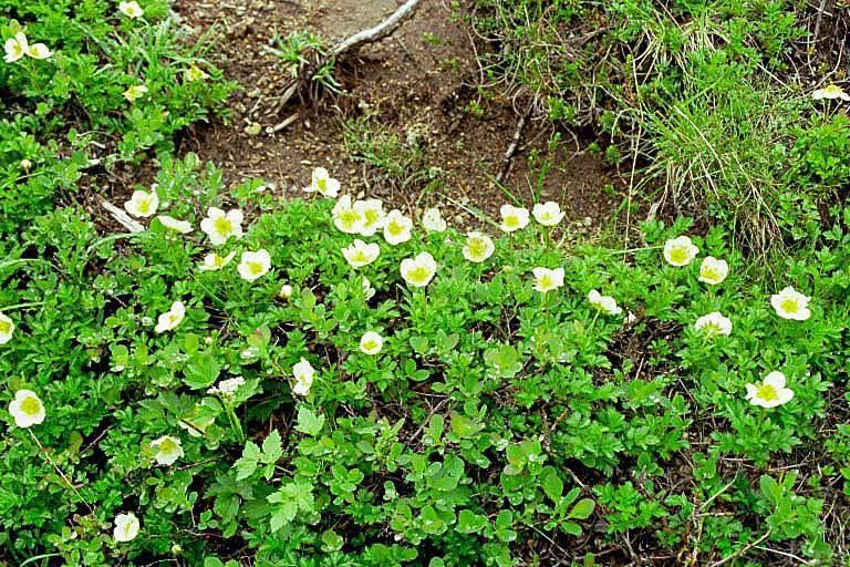 Image of <i>Sieversia pentapetala</i>