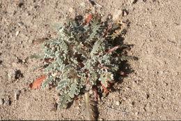 Image of <i>Glyptopleura marginata</i> Eaton
