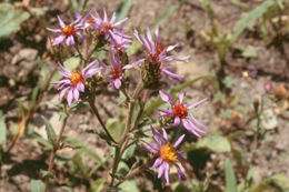 Image of thickstem aster