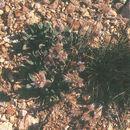 Image of varileaf phacelia