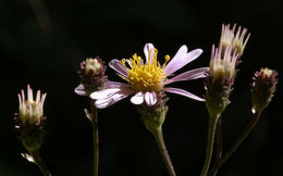 Image of roughleaf aster