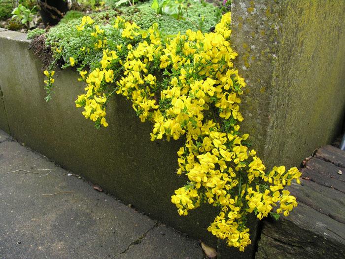 Image of <i>Cytisus procumbens</i> (Willd.) Spreng.