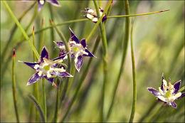 Image of <i>Juncus monanthos</i> Jacq.