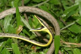 Image of Brown vinesnake, Mexican Vine Snake