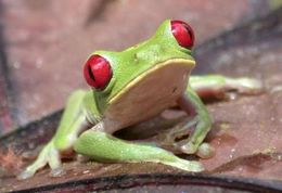 Image of Red-eyed Leaf frog