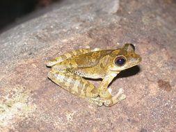Image of Veragua Cross-banded Treefrog