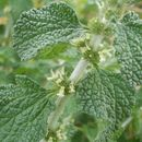 Image of horehound