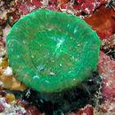 Image of Artichoke Coral