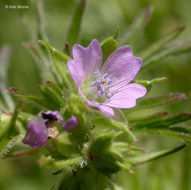 Image of cut-leaved cranesbill