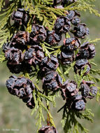 Image of Ginger Pine