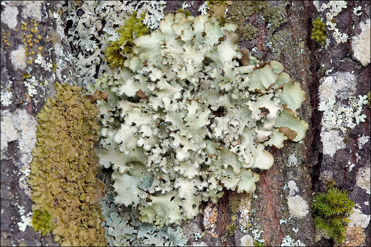 Image of giant shield lichen