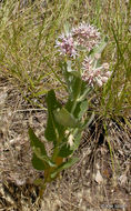 Image of <i>Asclepias speciosa</i> Torr.