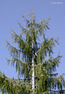 Image of Brewer spruce