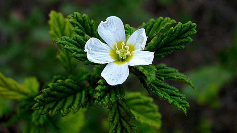 Image of <i>Turnera calyptrocarpa</i> Urb.