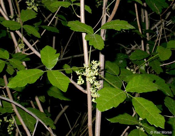 Image of western poison-oak