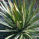 Image of Hairy Century Plant