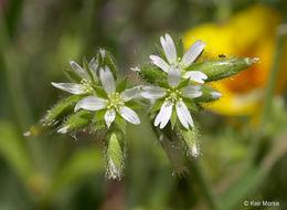 Image of sticky chickweed