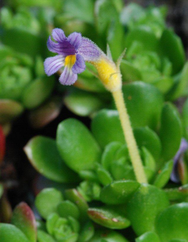 Image of oneflowered broomrape