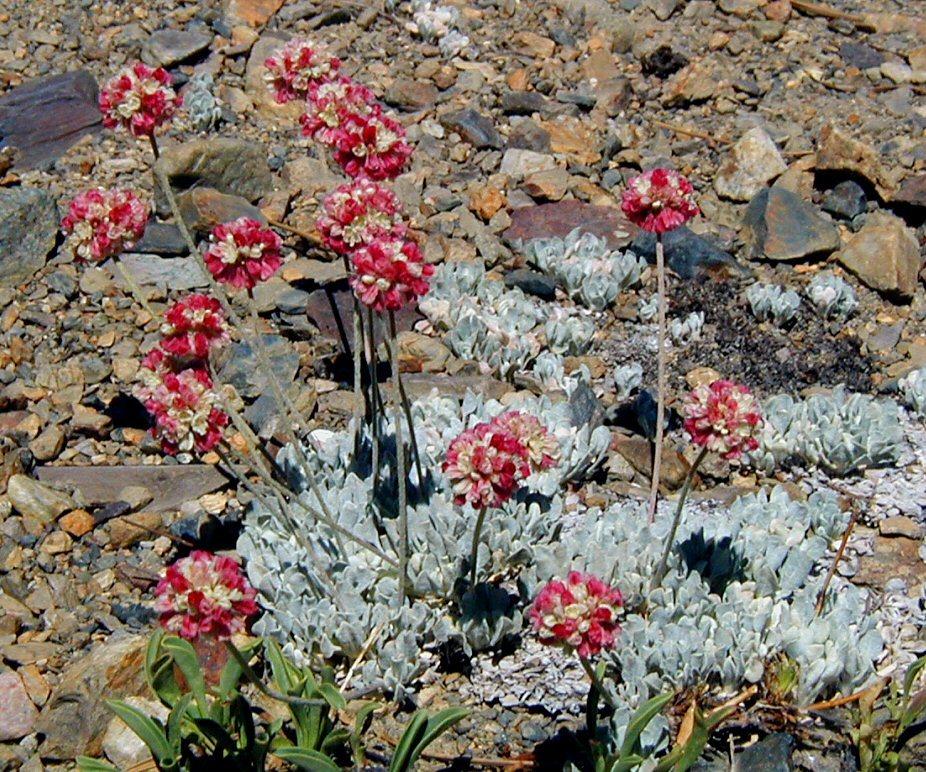 Image of cushion buckwheat