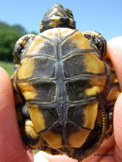 Image of Western Pond Turtle