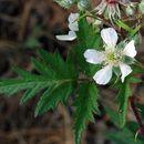 Image of cutleaf blackberry