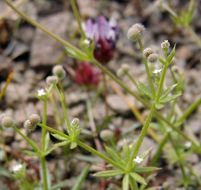 Image of wall bedstraw