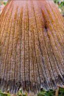 Image of <i>Parasola auricoma</i> (Pat.) Redhead, Vilgalys & Hopple 2001