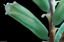 Image of <i>Lachenalia viridiflora</i> W. F. Barker
