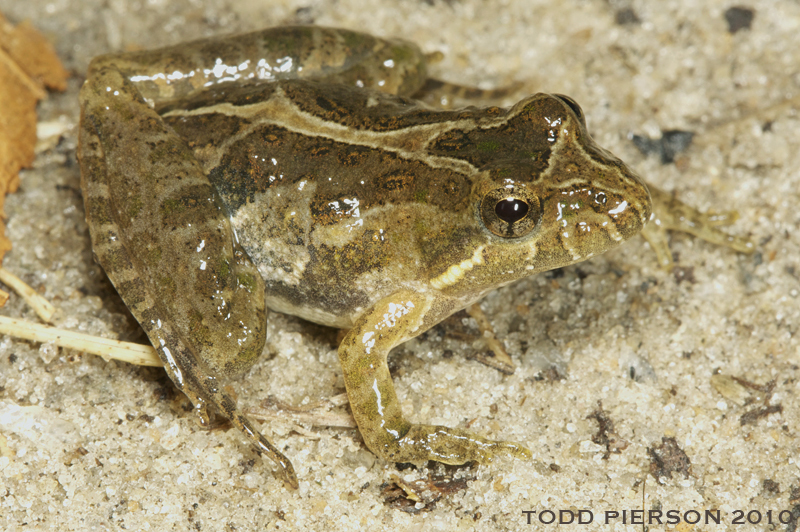 Image of Southern Cricket Frog