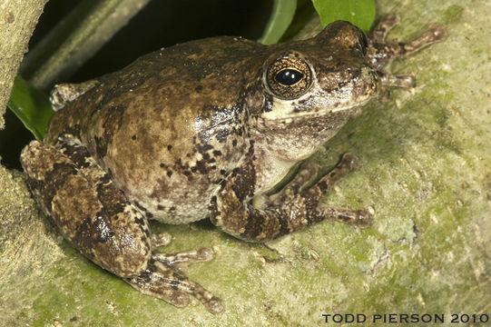 Image of Bird-voiced Treefrog