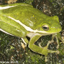 Image of American Green Treefrog